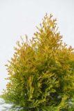 710-04392 Thuja occ.'Golden Smaragd' C3 (2)