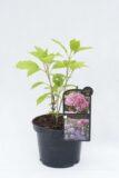 710-04504 Hydrangea arborescens Hortensja krzewiasta 'Candybelle Bubblegum' (2)
