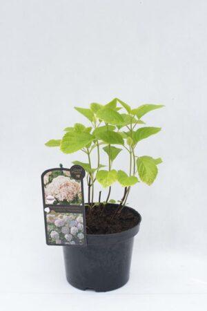 710-04505 Hydrangea arborescens Hortensja krzewiasta 'Candybelle Marshmallow' (1)