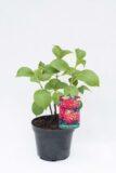710-04506 Hydrangea macrophylla Hortensja ogrodowa 'Hot Red' (1)