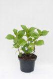 710-04507 Hydrangea macrophylla Hortensja ogrodowa 'Schloss Wackerbarth'