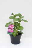 710-04508 Hydrangea macrophylla Hortensja ogrodowa 'Sybilla' (1)