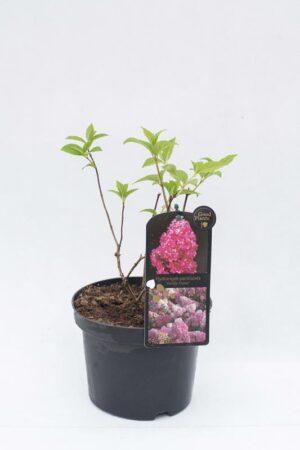 710-04510 Hydrangea paniculata Hortensja bukietowa 'Vanille Fraise' (1)