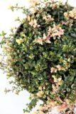 Macierzanka zwyczajna 'Foxley' (łac. Thymus 'Foxley')