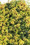 Macierzanka cytrynowa 'Doone Valley'