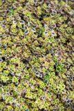 Macierzanka cytrynowa 'Aurea' (Thymus citriodorus)