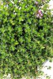 Macierzanka cytrynowa (łac. Thymus citriodorus)