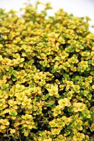 Thymus 'Bertram Anderson Gold' C1,5