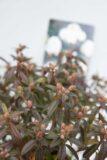 710-04646-Rhododendron-Arctic-Tern-Rozanecznik-