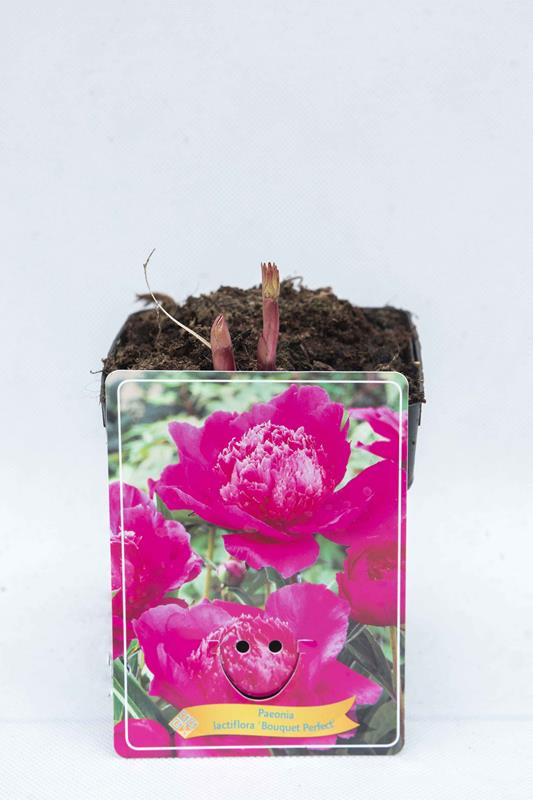 710-04654-Paeonia-Bouquet-Perfect-