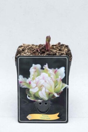 710-04655 Paeonia 'Green Lotus'
