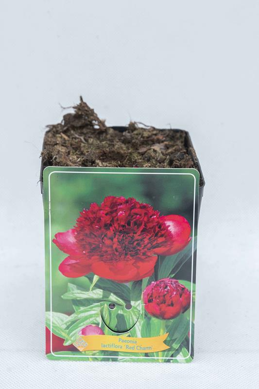 710-04657 Paeonia 'Red Charm'