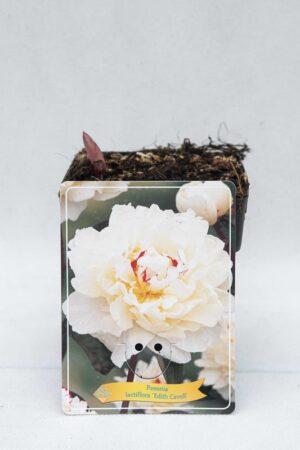 710-04661 Paeonia 'Edith Cavell'