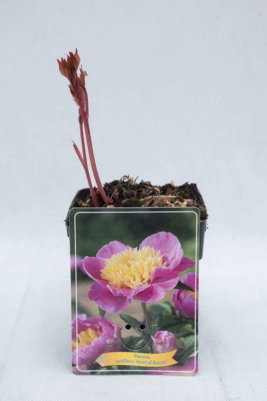 710-04668 Paeonia 'Bowl of Beauty'