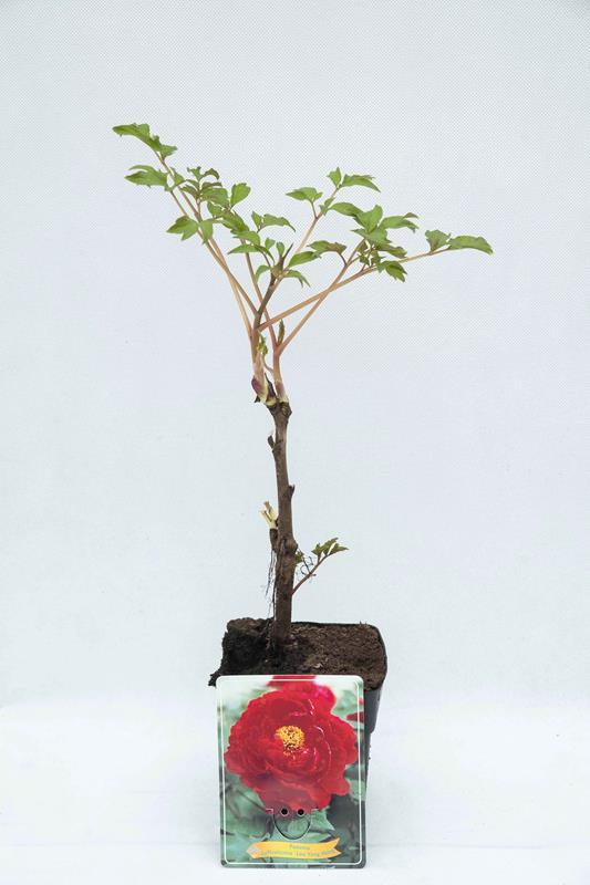710-04674 Paeonia 'Luo Yang Hong'