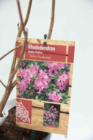 Rhododendron 'Jolie Madame' Azalia wielkokwiatowa