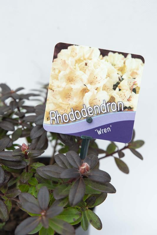 Rhododendron 'Wren' Różanecznik