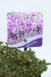 Rhododendron 'Keleticum'