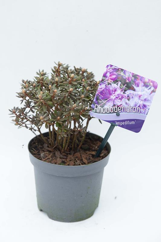710-04688-Rhododendron-Impeditum-Rozanecznik