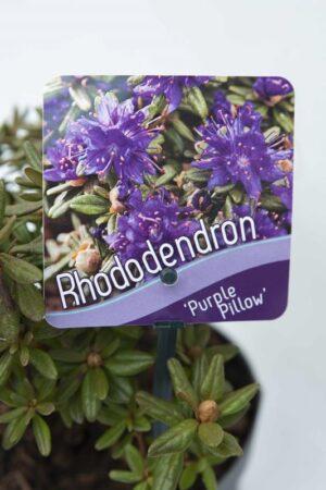 Rhododendron 'Purple Pillow' Różanecznik