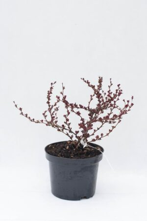 710-04696 Berberis th. 'Atropurpurea Nana' C2 (1)