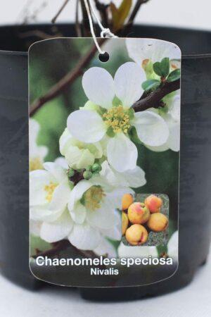 710-04698 Chaenomeles sp. 'Nivalis' C2 (2)