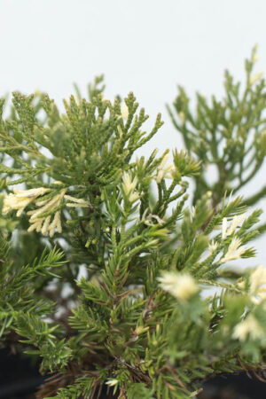 905-00068-Juniperus-chinensisExpansa-Variegata-C3-