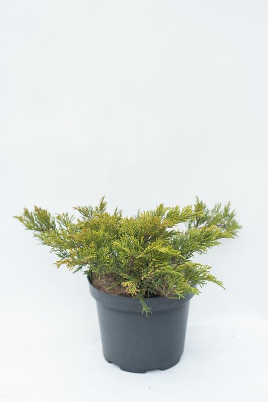 905-00074-Juniperus-sabinaTamariscifolia