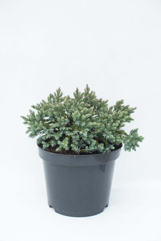 905-00075-Juniperus-squamataBlue-Star