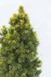 905-00088-Picea-glaucaRainbows-End-C3-