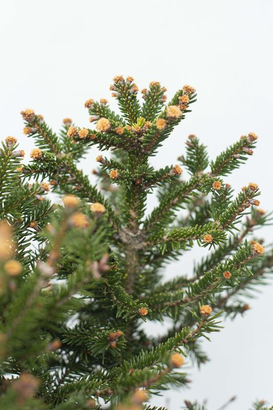 905-00126-Picea-abiesWills-Zwerg-C3