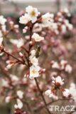 Wiśnia wczesna Kojou-no-mai