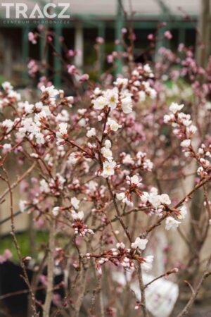Prunus incisa Kojou-no-mai
