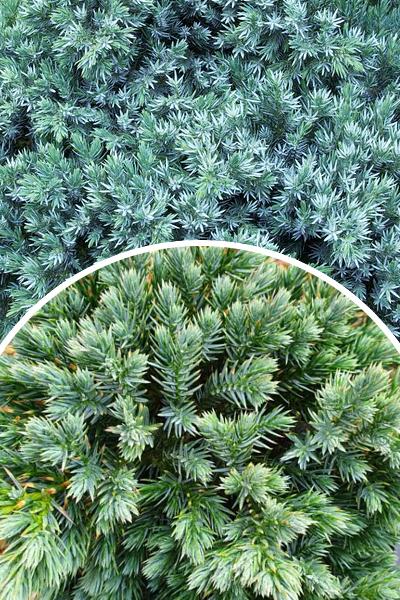 Jałowiec łuskowaty 'Blue Star' (Łac. Juniperus squamata 'Blue Star')