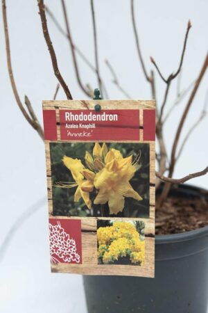 Rhododendron 'Anneke'