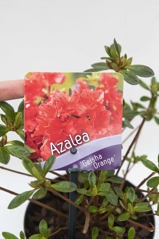 Azalia japońska 'Geisha Orange' (łac. Rhododendron 'Geisha Orange')