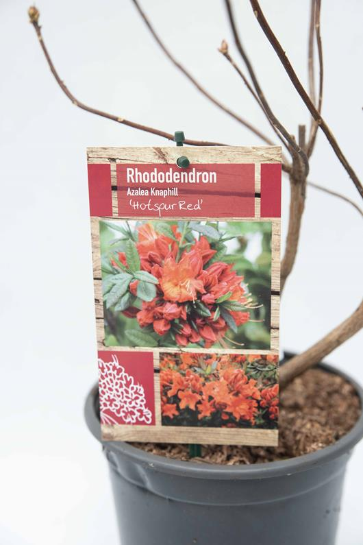 Rhododendron 'Hotspur Red' azalia 'Hotspur Red'