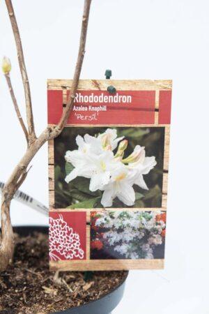 Rhododendron 'Persil' Azalia wielkokwiatowa