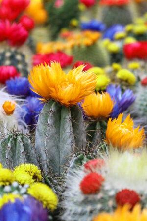 cactus mix centrum tracz