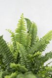 040-04525-NEPHROLEPIS-GREEN-LADY-H35-P12