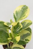 040-04536-PAPEROMIA-OBT.-GREEN-GOLD-H12-P508