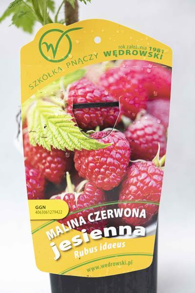 130-00976 Rubus idaeus - Malina właściwajesienna (1)