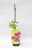 130-00976 Rubus idaeus - Malina właściwajesienna (2)