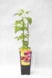 130-00977 Rubus idaeus - Malina właściwajesienna (1)