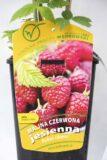 130-00977 Rubus idaeus - Malina właściwajesienna