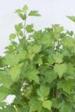 130-02525-Ribes-alpinum-Schmidt