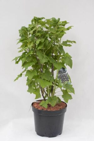 130-02526-Ribes-nigrum-Tisel-