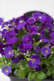 520-01537-AUBRIETA-CULT.KITTE-BLUE