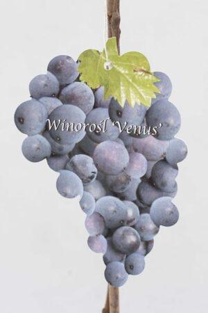 710-01220-Vitis-Venus
