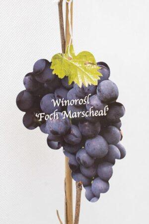 710-01229-Vitis-Foch-Marscheal